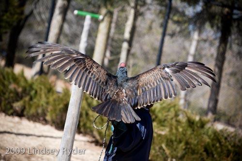 Captive turkey vulture sunning herself